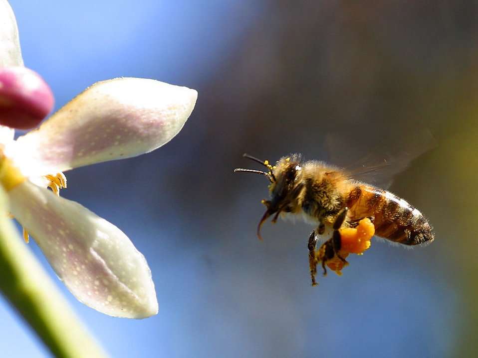 2410-closeup-of-a-bee-with-pollen-flying-by-a-flower-pv